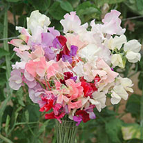 Sweet Pea Most Fragrant Collection