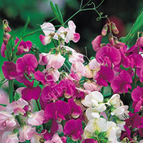 Sweet Pea Everlasting Mixture