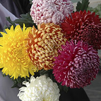 Chrysanthemum Autumn Bloom Collection
