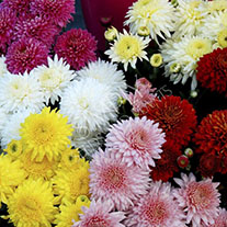 Chrysanthemum Autumn Spray Collection