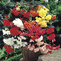 Sensation Trailing Begonia Collection