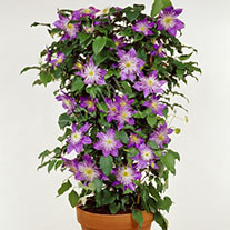 Double Flowered Patio Clematis Collection