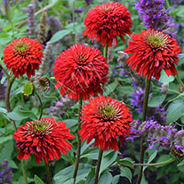 Echinacea Secret Love
