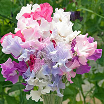 Sweet Pea Super Scented Exhibition Collection (Six Packets of 30 seeds)