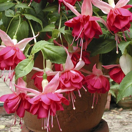 Fuchsia Seventh Heaven