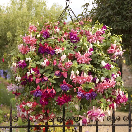 Fuchsia Jumbo Flowered Collection