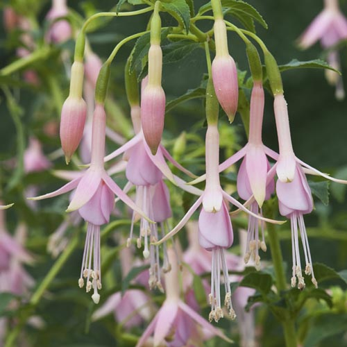 Fuchsia White Knights Pearl