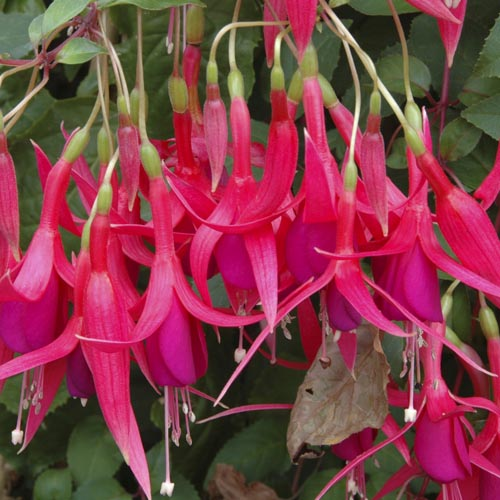 Fuchsia Hanging Basket Collection