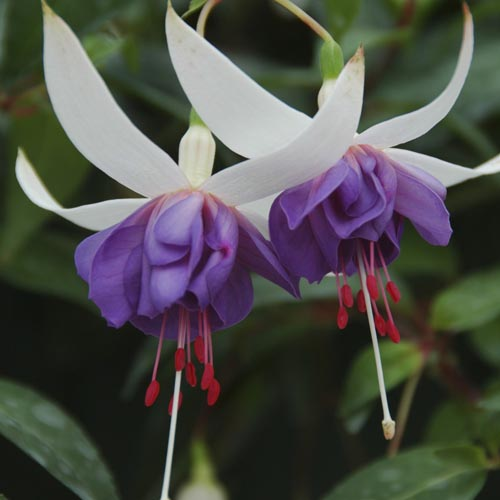 Fuchsia Blue Angel