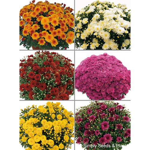 Chrysanthemum Patio Collection