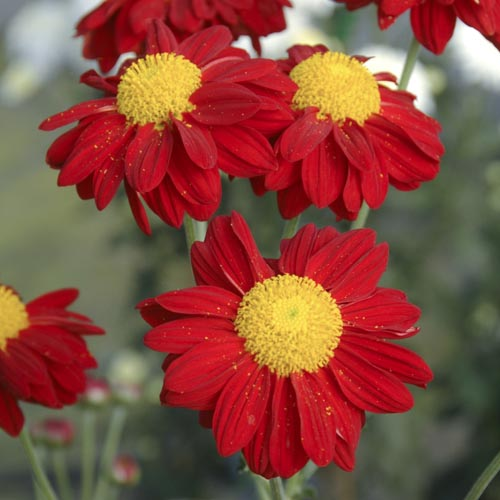 Chrysanthemum Red Enbee Wedding