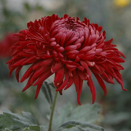 chrysanthemums a review Plant allergies: chrysanthemum is a member of the asteraceae/compositae family of plants and may cause an allergic reaction in people sensitive to other plants from this family other members of.