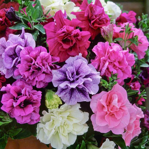 Petunia Tumbelina Collection