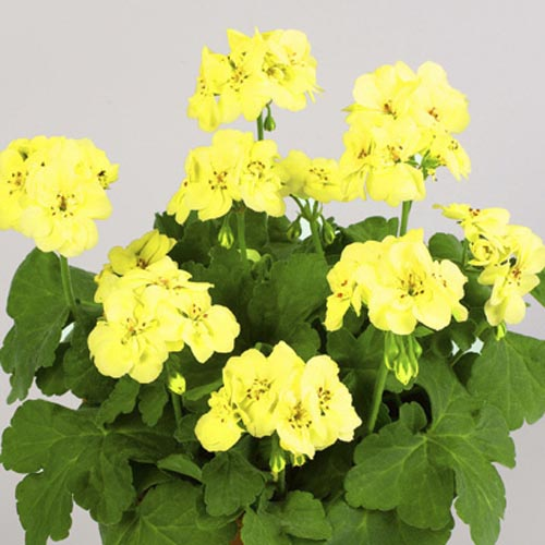 Geranium First Yellow Improved