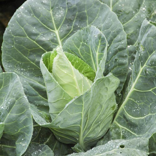Cabbage Duncan