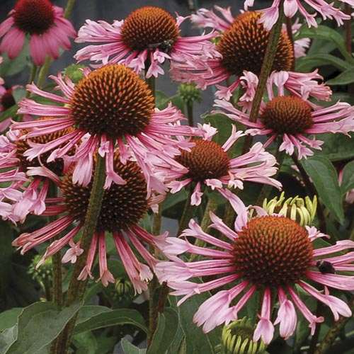 Echinacea Quills and Thrills