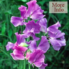 Sweet Pea Blue Danube 