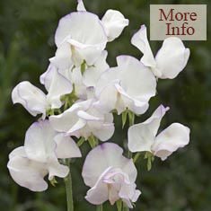 Sweet Pea Albutt Blue 