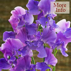 Sweet Pea Anna's Hope
