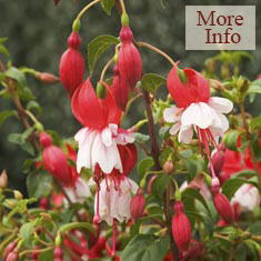 Fuchsia Cardinal Farges