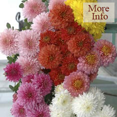 Chrysanthemum Early Spray Collection