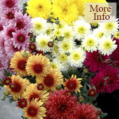 Chrysanthemum Beppie Spray Collection