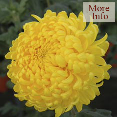 Chrysanthemum Alec Bedser
