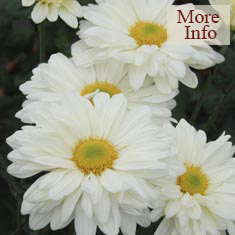 Chrysanthemum Cream Enbee Wedding