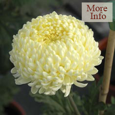 Chrysanthemum Creamist