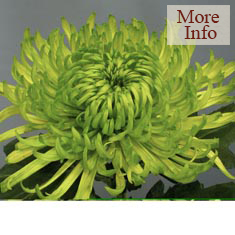 Chrysanthemum Green Shamrock