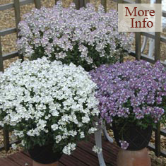 Nemesia Fragrant Lady Collection