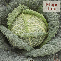 Cabbage Wirosa