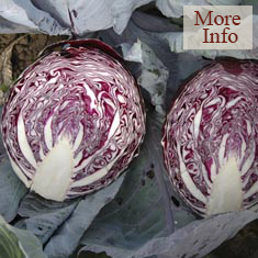 Cabbage Lectro