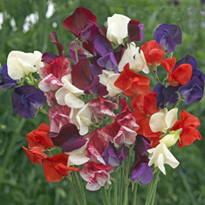 Sweet Pea Perfumed Heirloom Collection