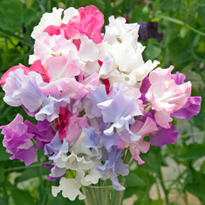Sweet Pea Super Scented Exhibition Collection (Six Packets of 20 seeds)