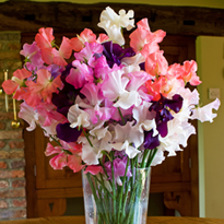 Sweet Pea Sandringham Collection (Six Packets of 20 seeds)