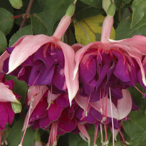 Fuchsia Royal Mosaic