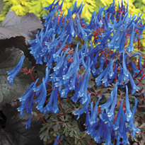 Corydalis Blue Heron