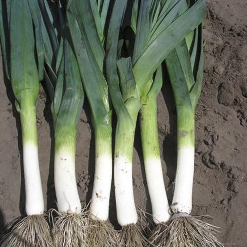 leeks plant - photo #9